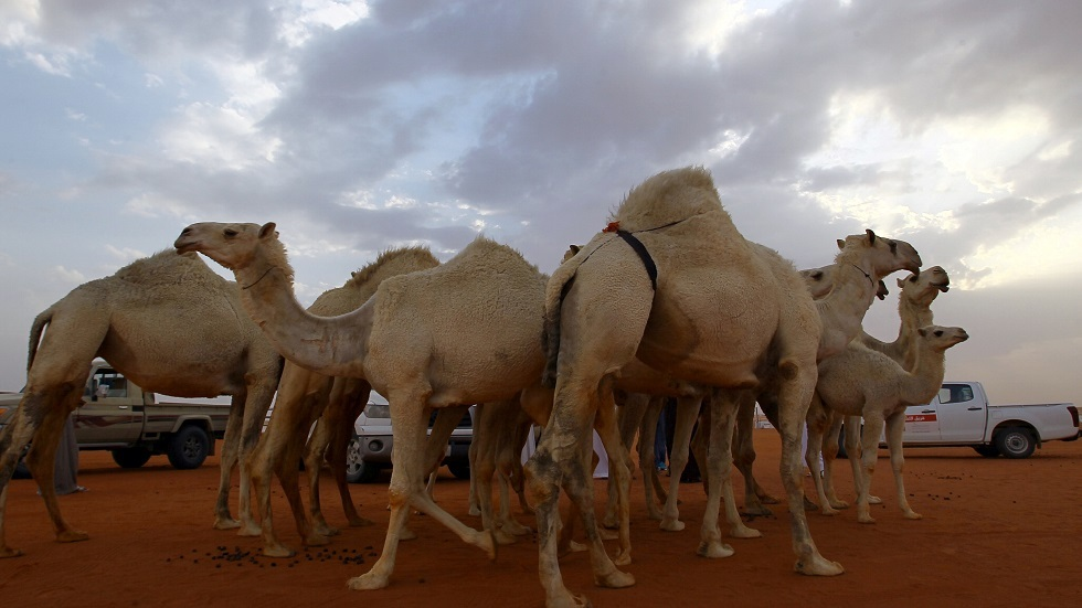 السعودية.. السيول تجرف قطيعا من أجود سلالات الإبل