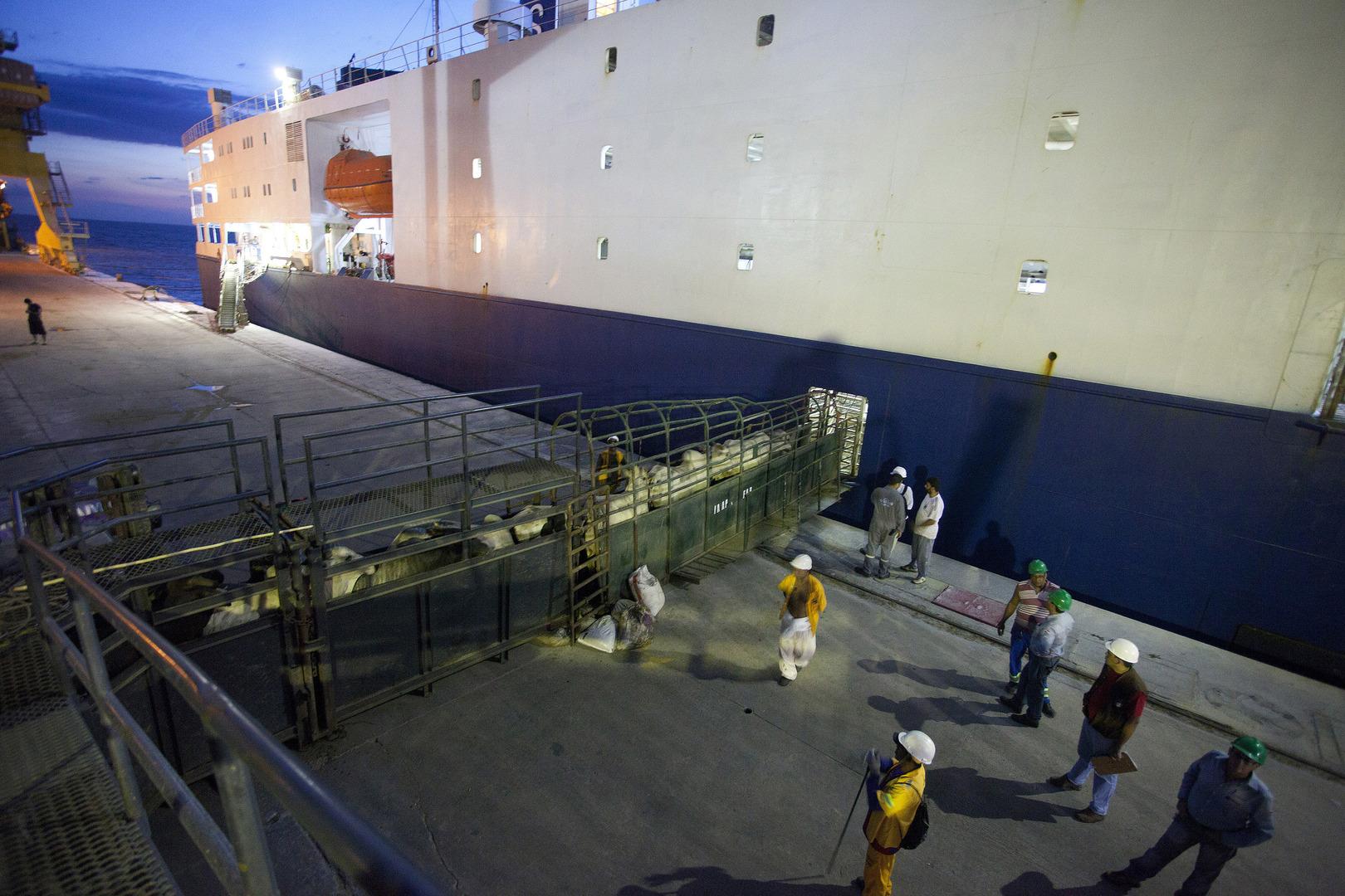 سفينة شحن محملة بالماشية، صورة تعبيرية