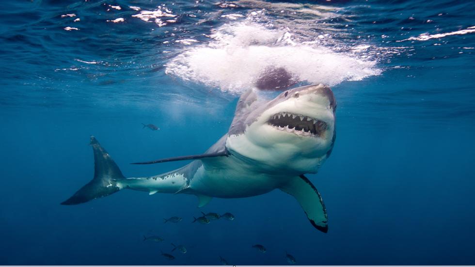 العلماء يصدمون بما تلتهمه أسماك القرش البيضاء الضخمة حقا!