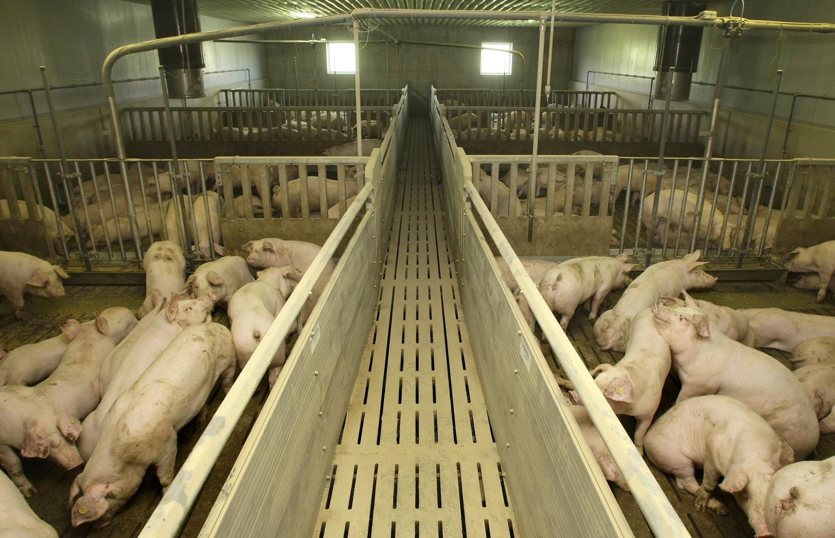 نفوق نحو 400 خنزير بحريق اندلع في مزرعة بألمانيا