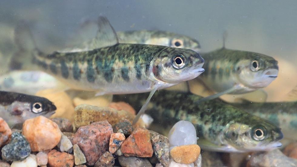 انخفاض صادرات النرويج من سمك السلمون إلى الصين وسط تفشي كورونا