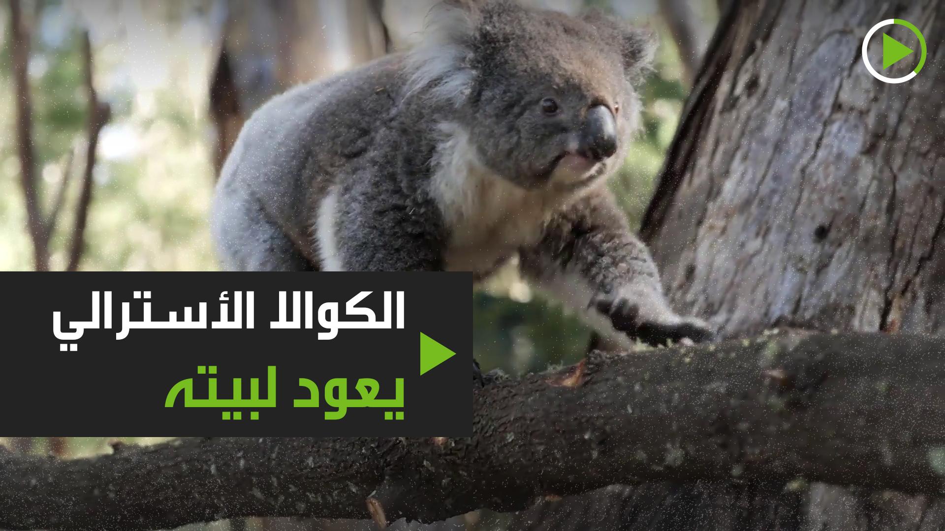 عودة الكوالا بعد احتراق 6.3 مليون هكتار من الغابات!
