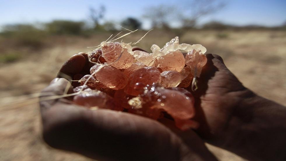 السودان.. مبادرة أولى من نوعها عالميا لاستخدام الصمغ العربي لتحسين المناعة ضد كورونا