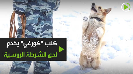 """كلب """"كورغي"""" يخدم لدى الشرطة الروسية"""
