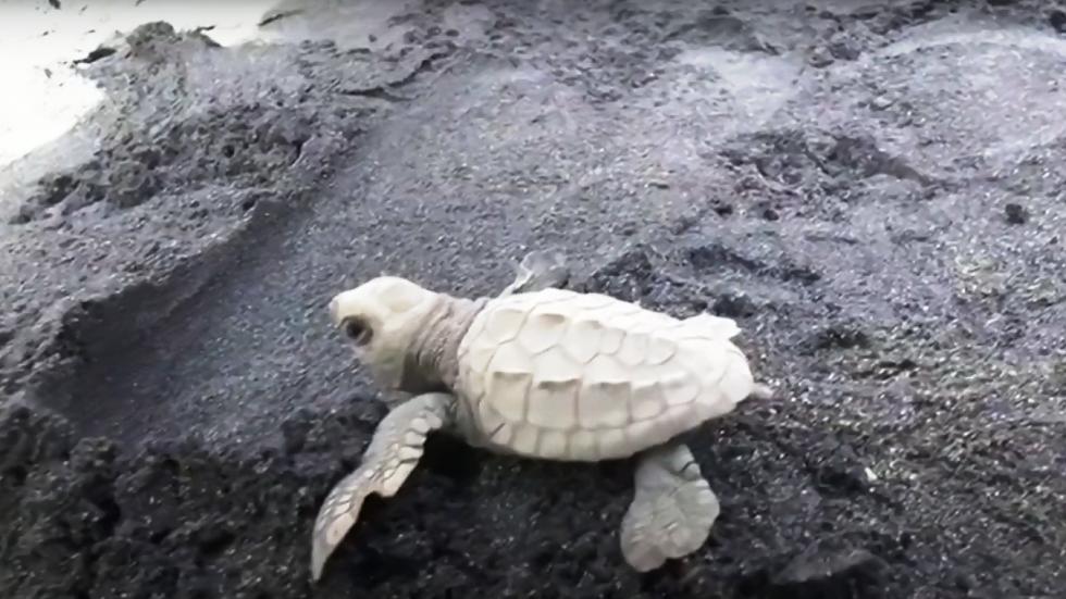إطلاق ألوف السلاحف الصغيرة في البحر بإندونيسيا