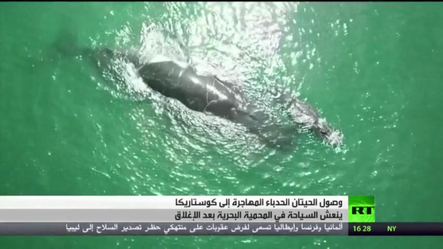 الحيتان الحدباء تنعش السياحة في كوستاريكا