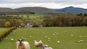 إسكتلندا.. بيع أغلى خروف في العالم بمبلغ يفوق ثمن سيارة فيراري (صور)