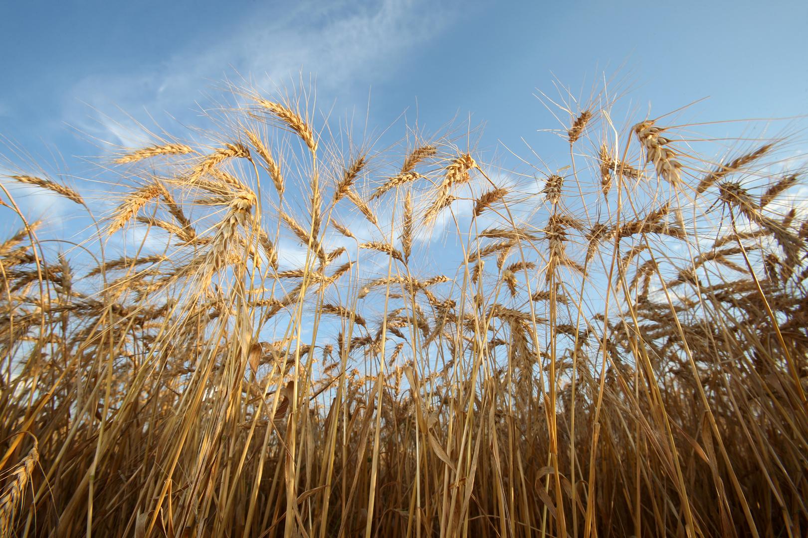 لأول مرة في 12 عاما.. أوكرانيا تورد القمح إلى السعودية