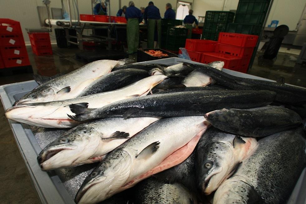 ماهي مدة بقاء فيروس كورونا حيا في سمك السلمون المبرد