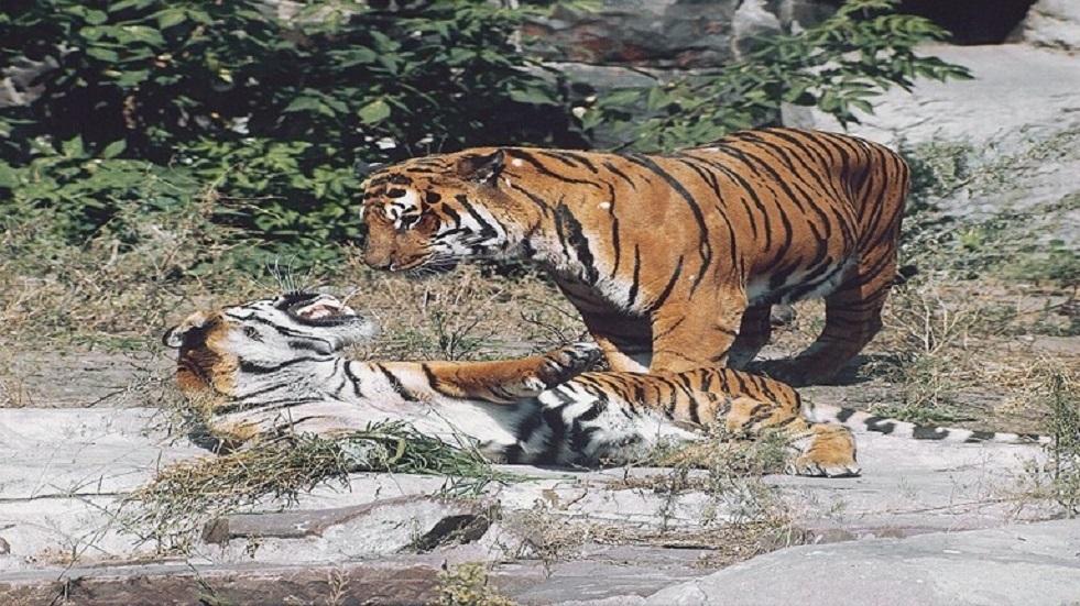 الأمم المتحدة تشيد ببرنامج روسيا لحماية النمور من الانقراض