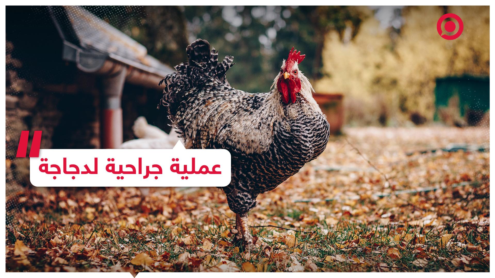 عملية جراحية لدجاجة في مصر تثير الجدل