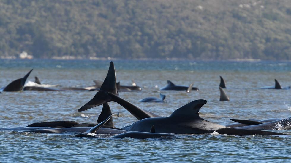نفوق مئات الحيتان الطيارة في أكبر حدث من نوعه بتاريخ أستراليا (صور)