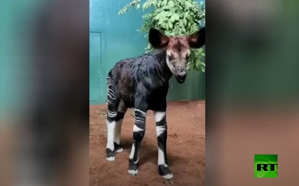 ولادة حيوان غريب