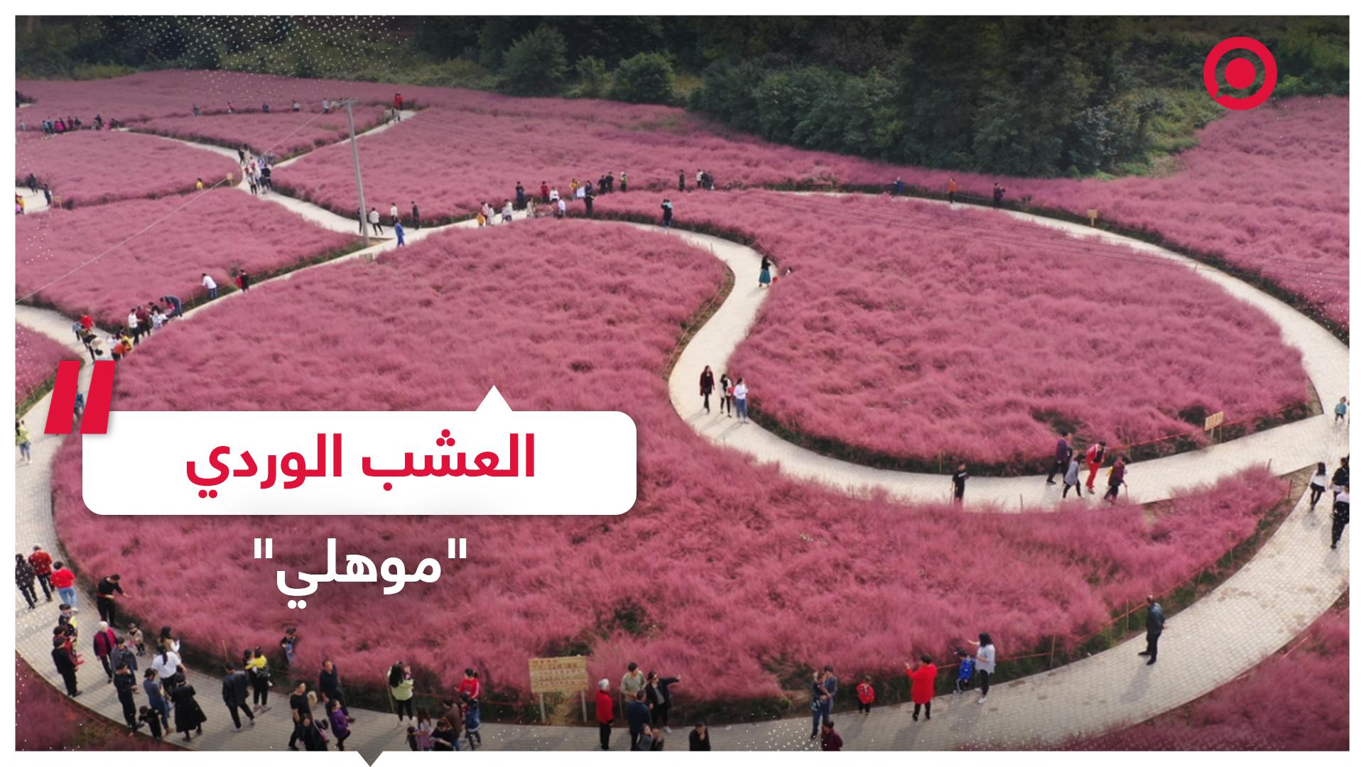 شاهد جمال العشب الوردي موهلي  وسط الصين!