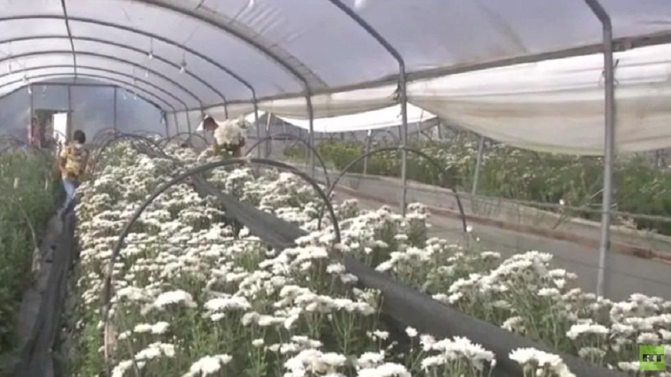 زراعة الورد في غزة تحتضر بسبب الحصار وكورونا