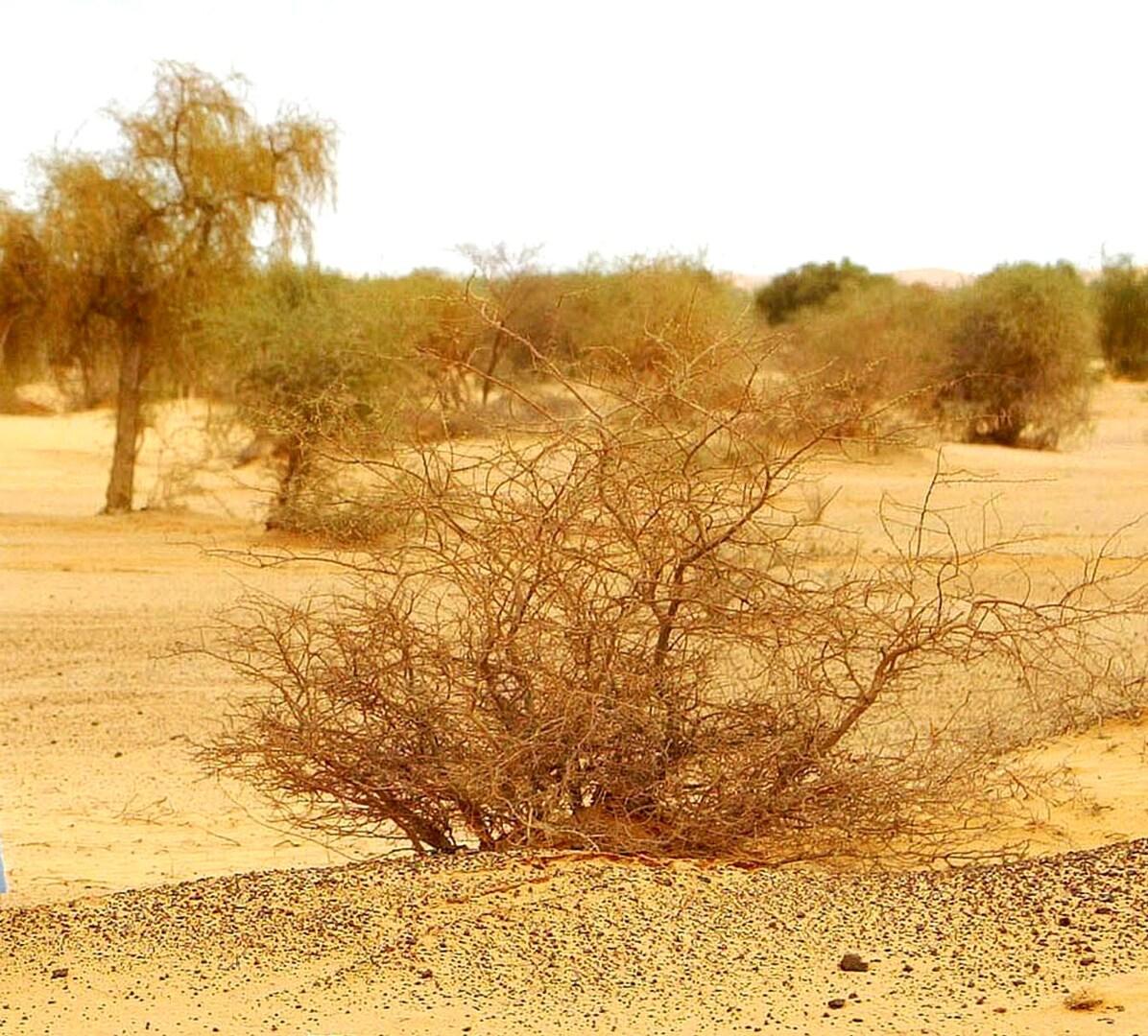 الصحراء. الجزائر.
