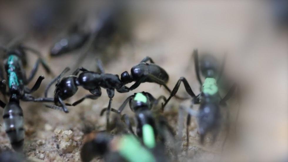 مواطن في سنغافورة يترك مهنته ويفتح متجرا لبيع النمل (فيديو)
