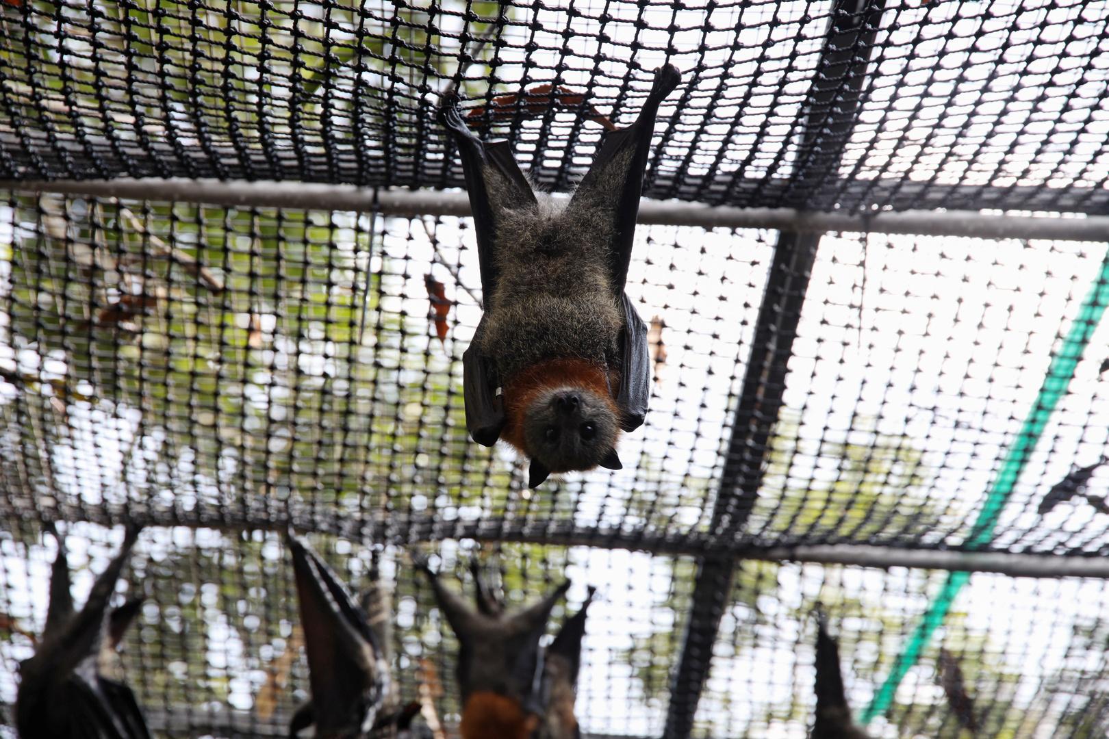 دراسة تكشف سبب عدم مرض الخفافيش رغم حملها للكثير من الفيروسات