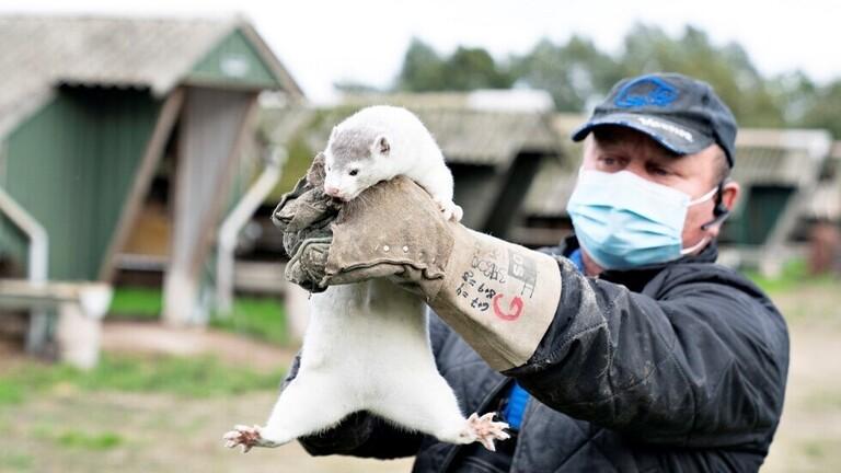 بسبب كورونا.. الدنمارك تخطط للقضاء على جميع حيوانات المنك في البلاد