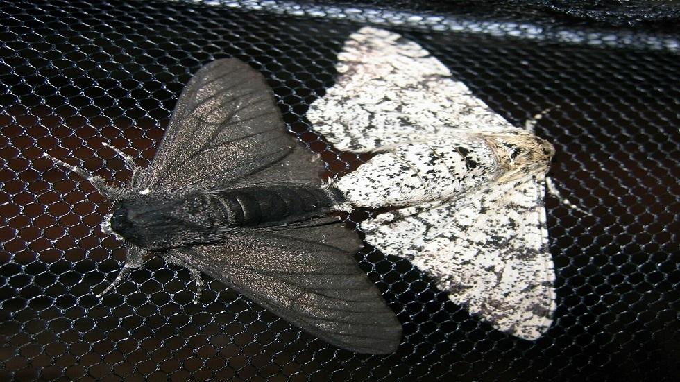حشرة عثة الشمع الكبرى