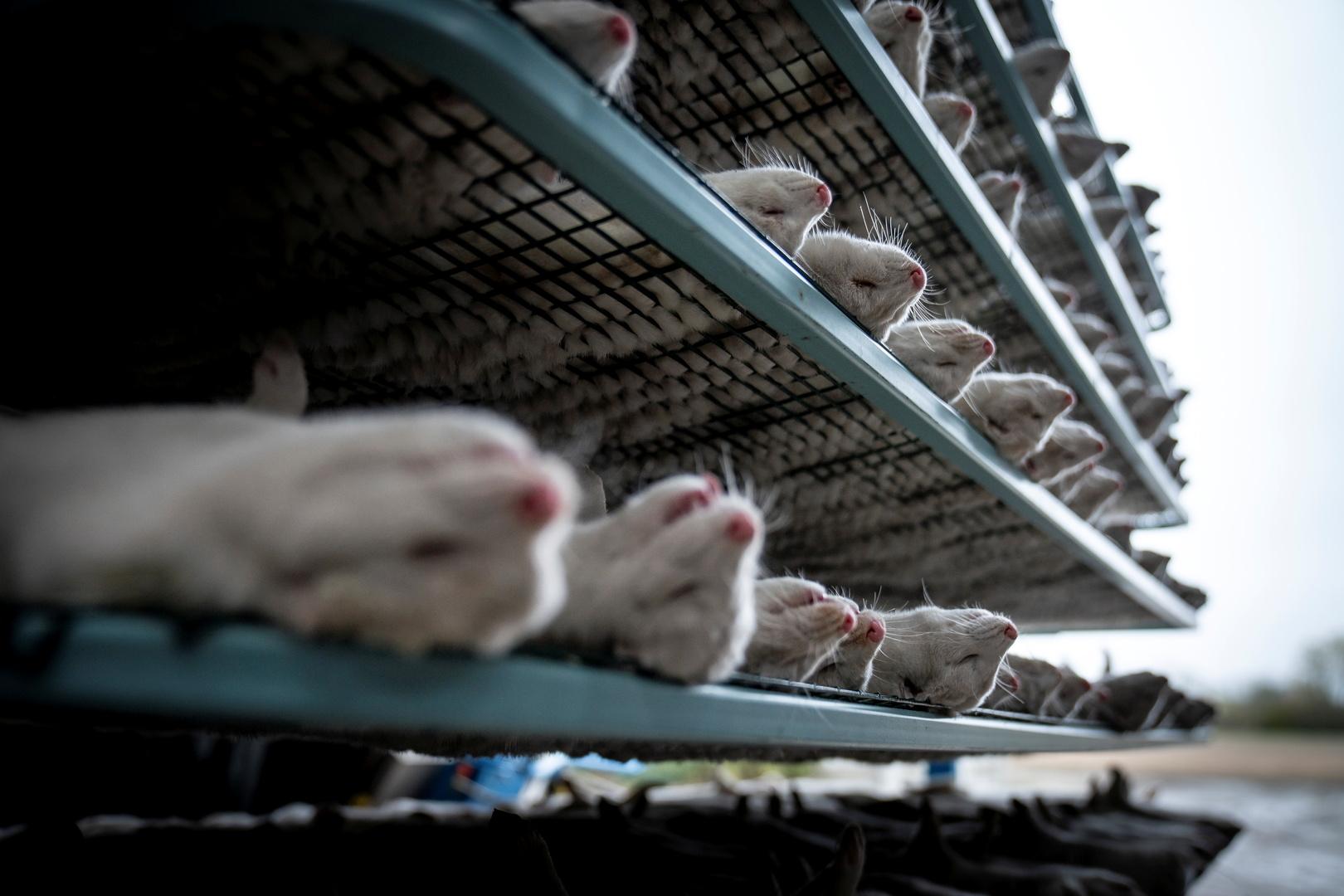 الدنمارك عن قرار إعدام ملايين حيوانات المنك بسبب كورونا: ارتكبنا خطأ