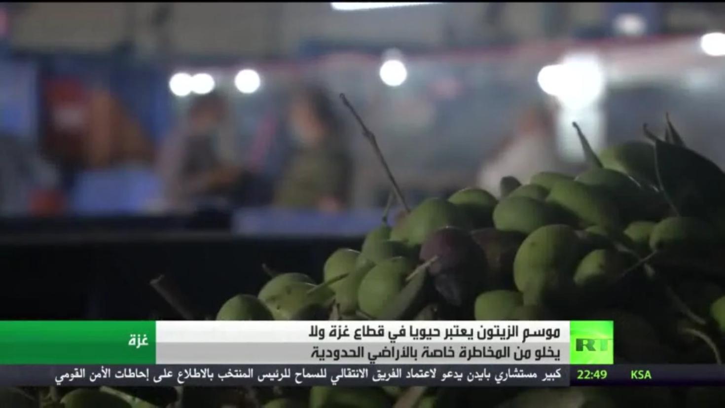 بدء موسم الزيتون وتشغيل المعاصر في غزة