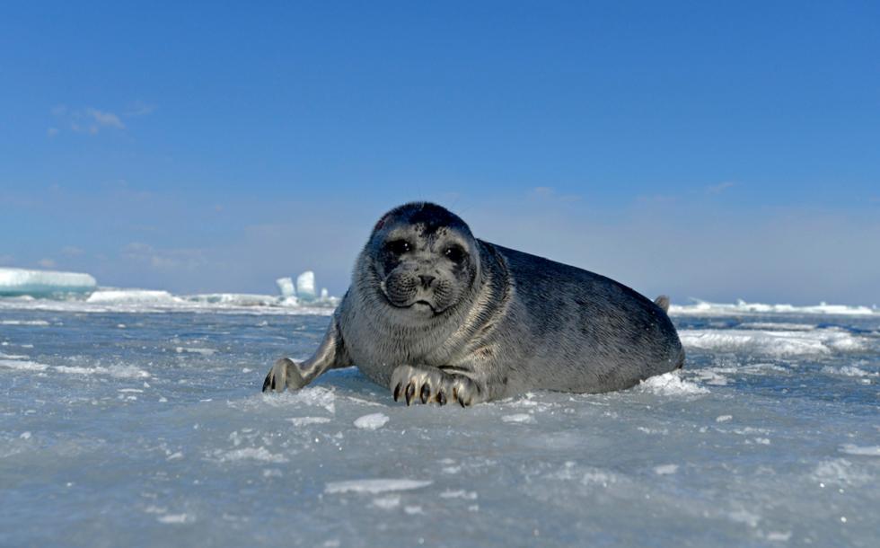 آلاف حيوانات الفقم تخرج على ثلج بحيرة البايكال