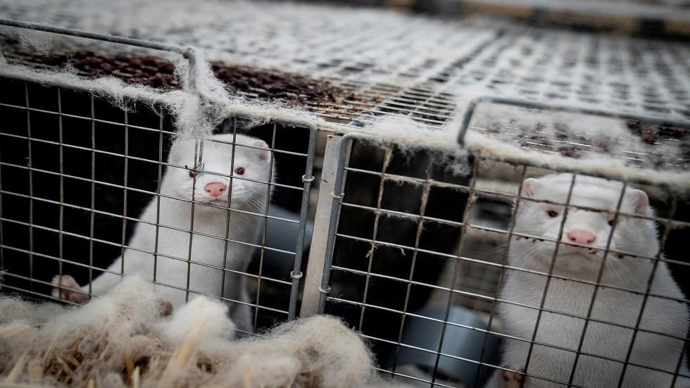 بعد الدنمارك.. انتشار كورونا في مزرعة لحيوانات المنك بفرنسا