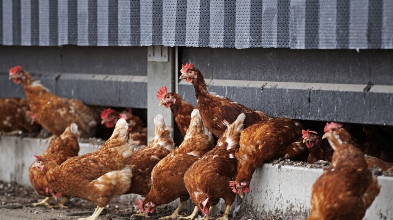 إعدام 190 ألف دجاجة في هولندا