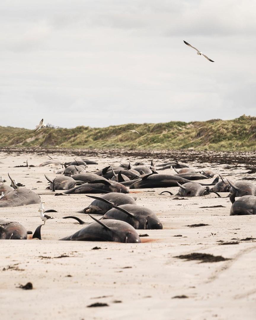 نفوق أكثر من 120 حوتا في جزر تشاتام بنوزيلندا