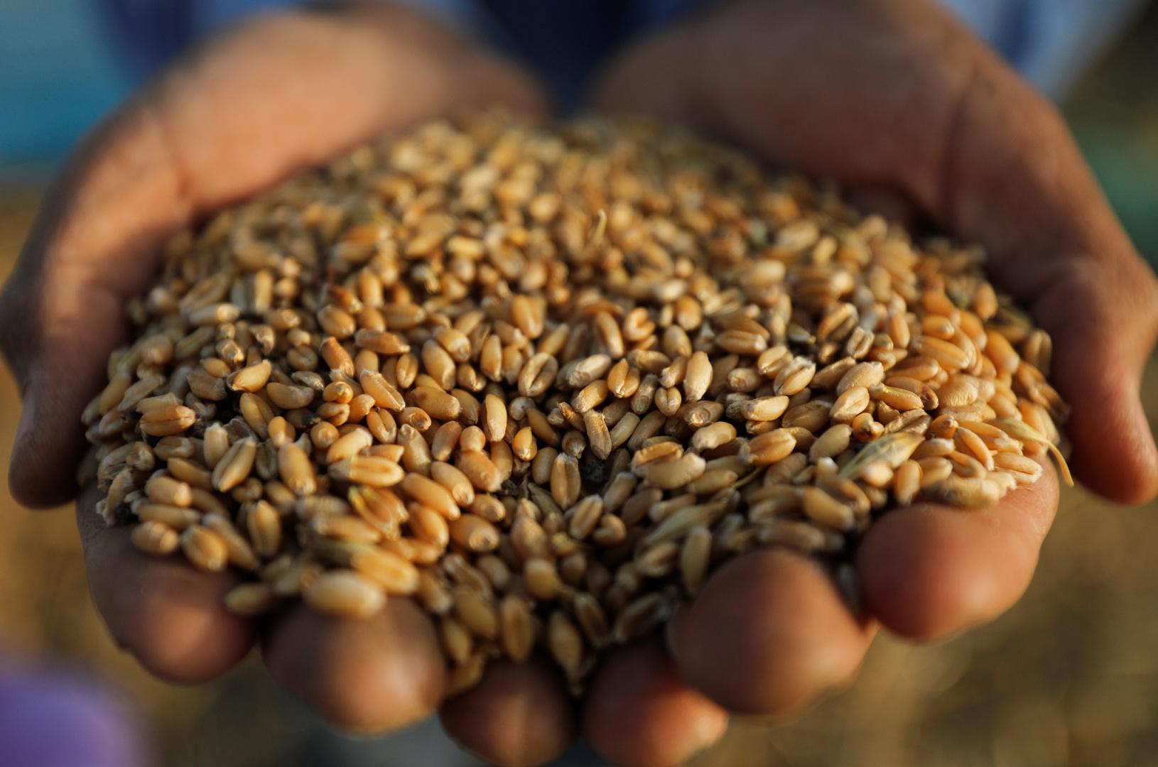 مصر تشتري آلاف الأطنان من القمح الروسي
