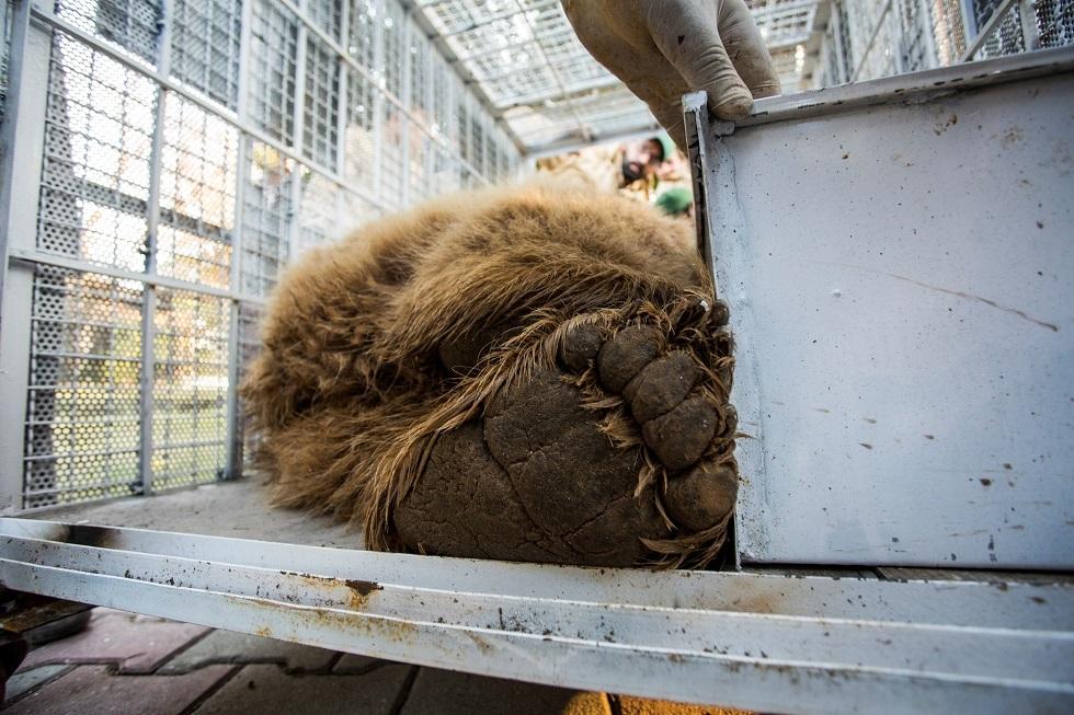 نقل زوجين من الدببة من حديقة الحيوان في إسلام أباد إلى محمية بالأردن (صور)