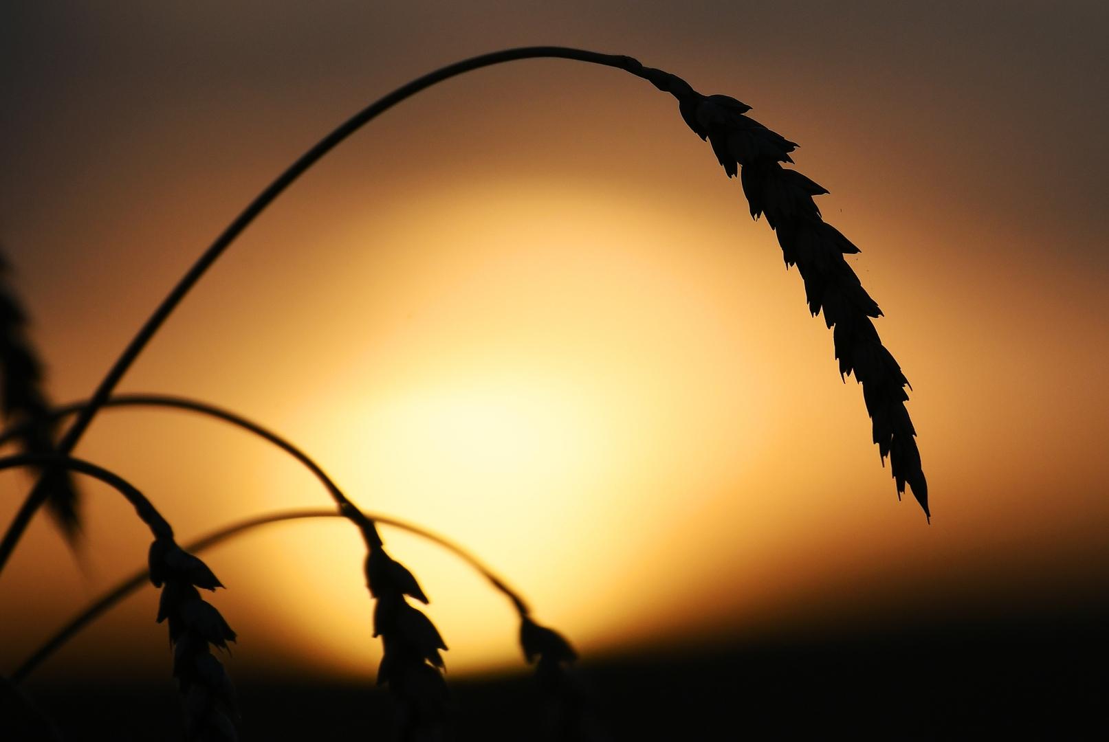 لافروف: روسيا زودت سوريا بـ100 ألف طن من القمح