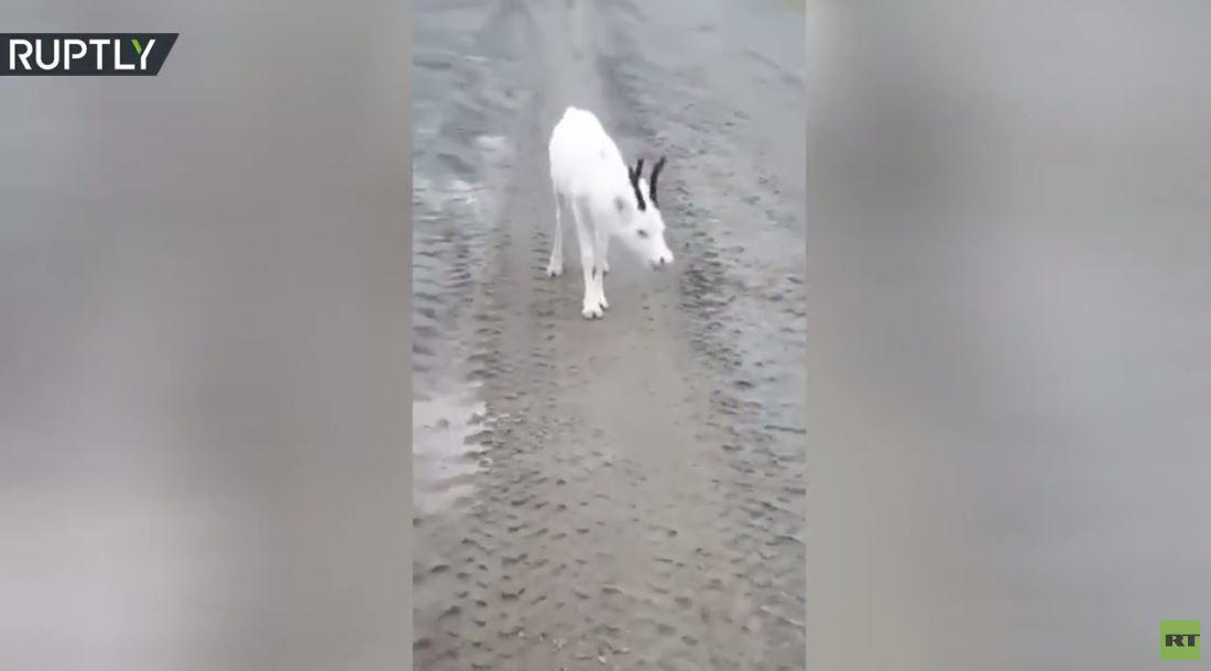 بالفيديو.. أيل أبيض يرافق شاحنة أثناء سيرها في طريق شمال روسيا