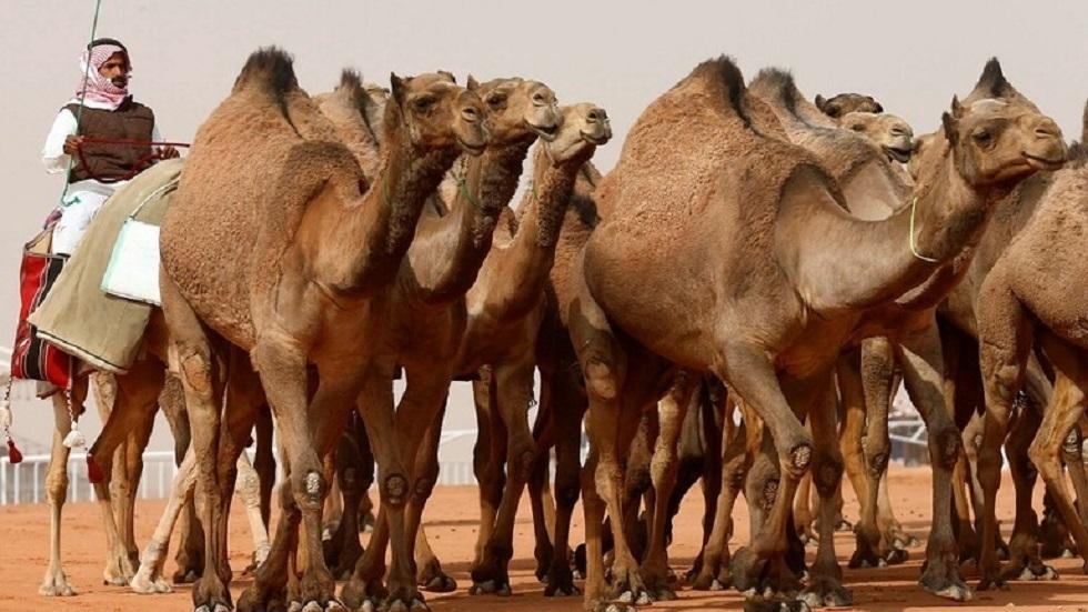 مهرجان الإبل في السعودية - أرشيف