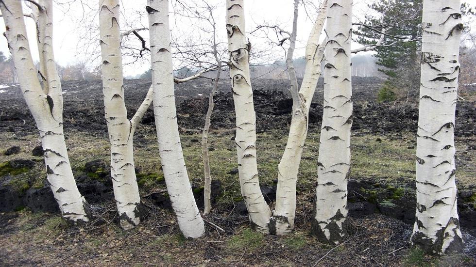 اشجار البتولا