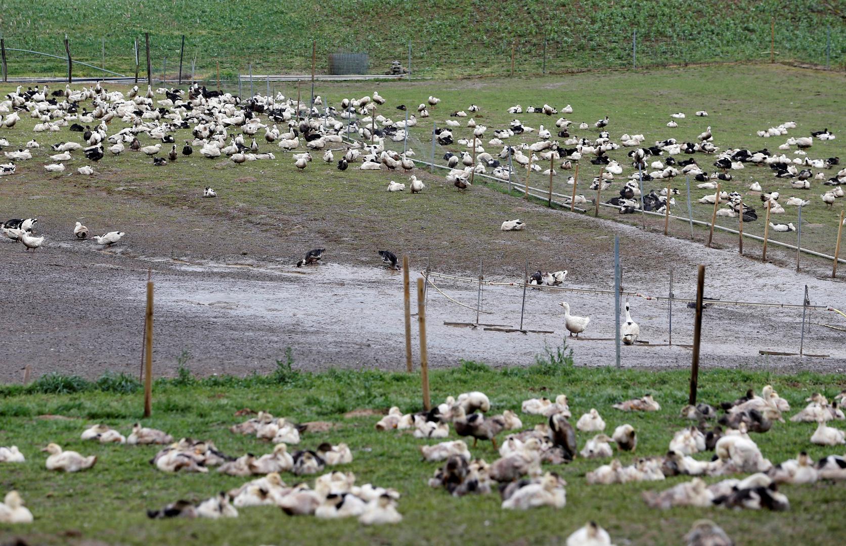 فيروس إنفلونزا الطيور يتفشي بسرعة خيالية في فرنسا..إعدام 400 ألف بطة