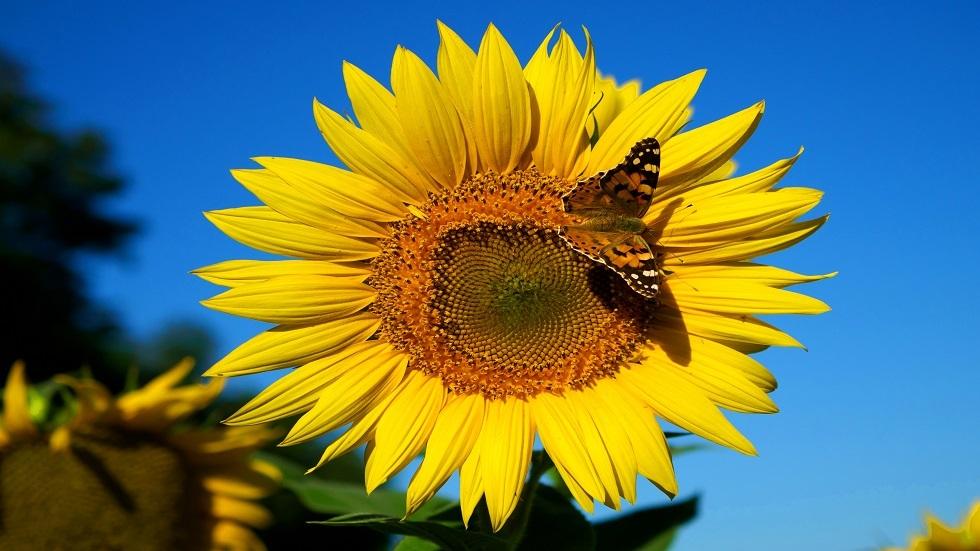 تقلص عدد  الفراشات في أوروبا بنسبة 40%