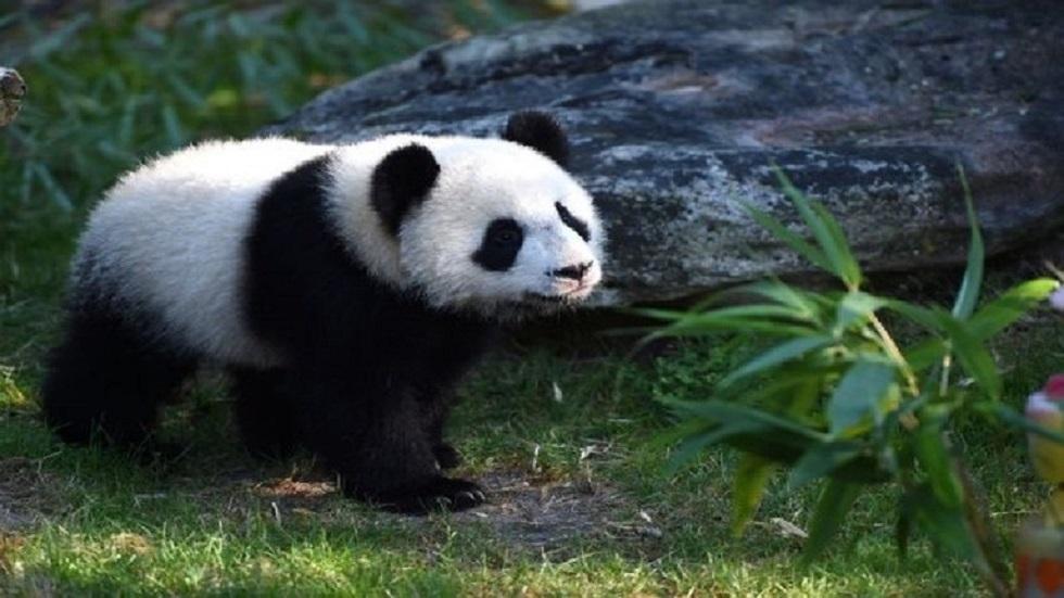 شاهد.. تلفزيون الصين ينشر أول ظهور للباندا البيضاء النادرة