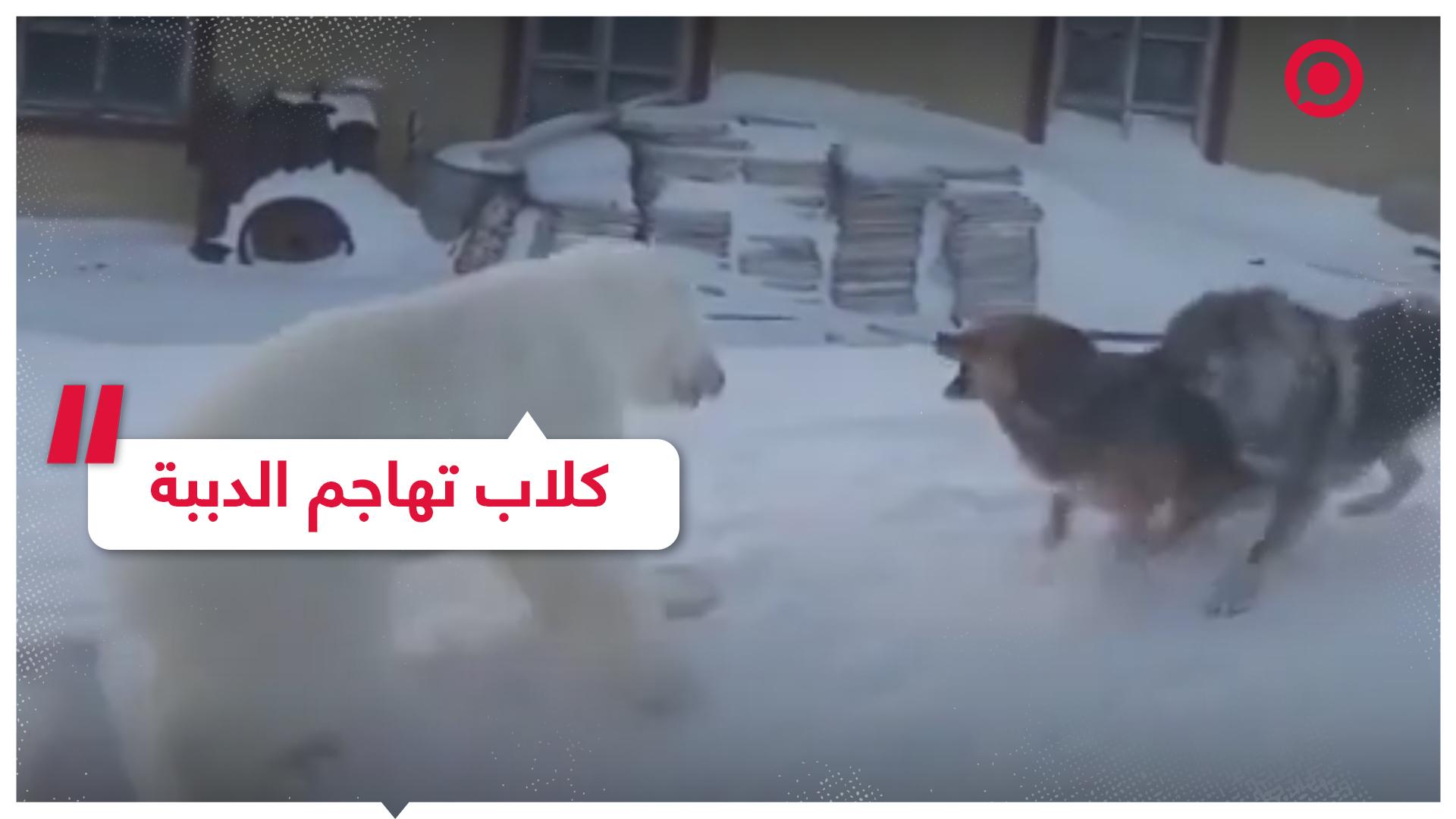 مجموعة كلاب تهاجم أنثى الدب القطبي وصغيريها