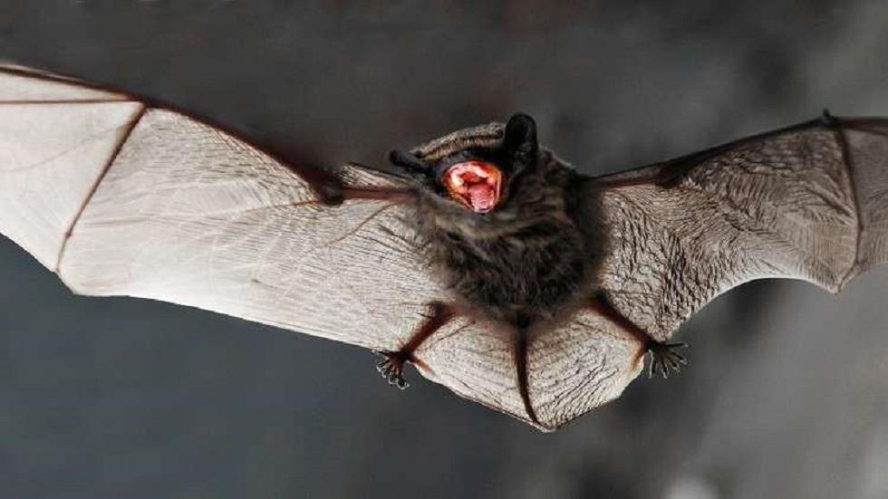 دراسة: خفافيش تعيش في كمبوديا تحمل مسببات الأمراض