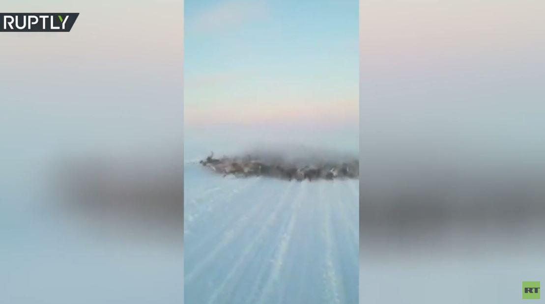 قطيع كبير من الأيائل يفاجئ سائقا في شمال روسيا