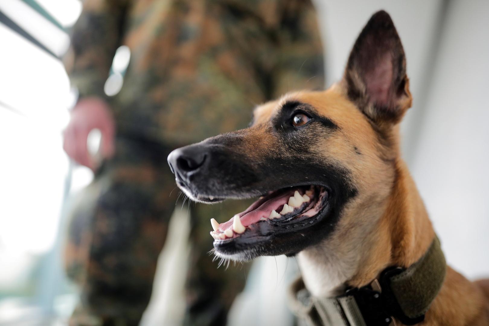 كلاب ألمانية مدربة تكتشف الإصابة بكورونا بنسبة 94%