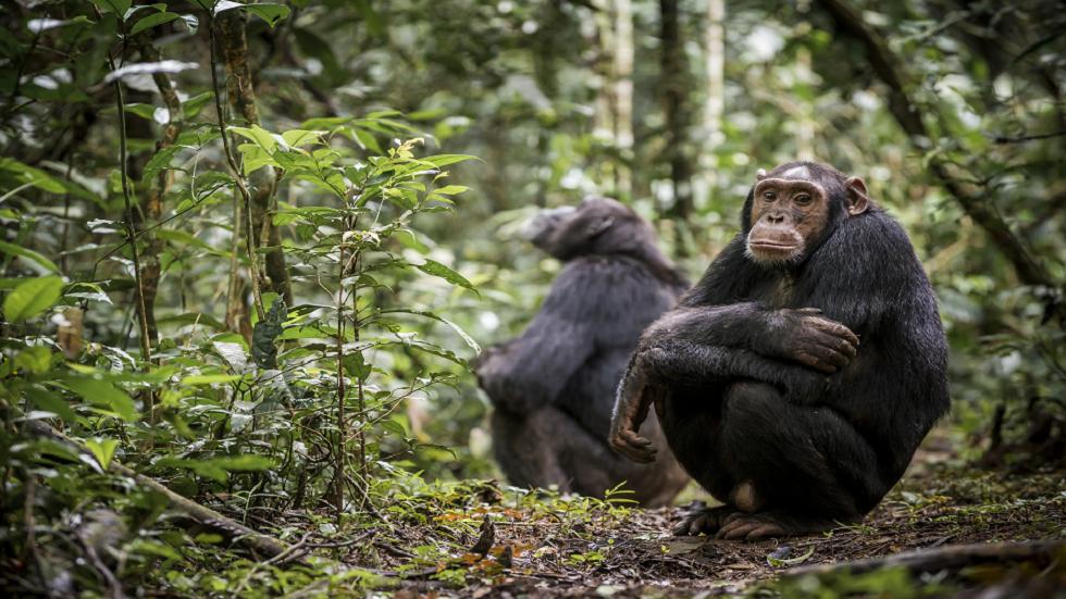 علماء يتوصلون إلى دليل محتمل لفهم مرض غامض يقتل الشمبانزي!