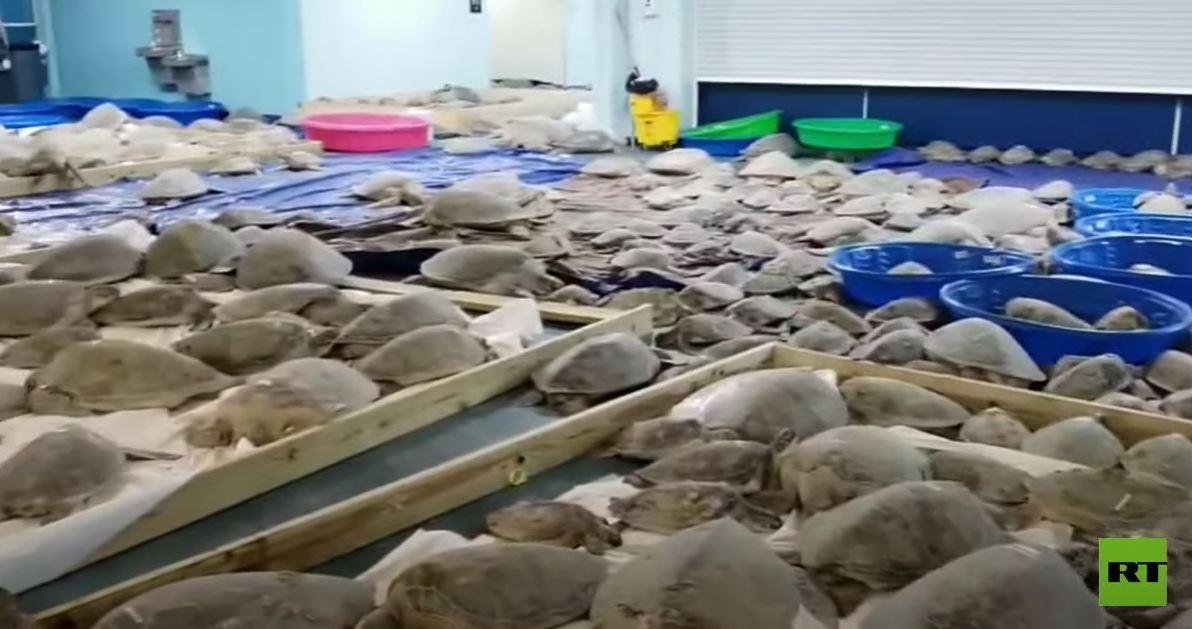 إنقاذ آلاف السلاحف البحرية من الموت بردا