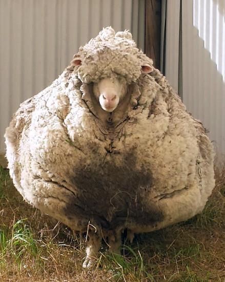 نعجة استرالية تحمل صوفا بوزن 40 كيلوغراما