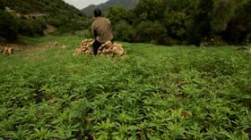 المغرب يتجه نحو السماح بزراعة وإنتاج القنب للأغراض الطبية