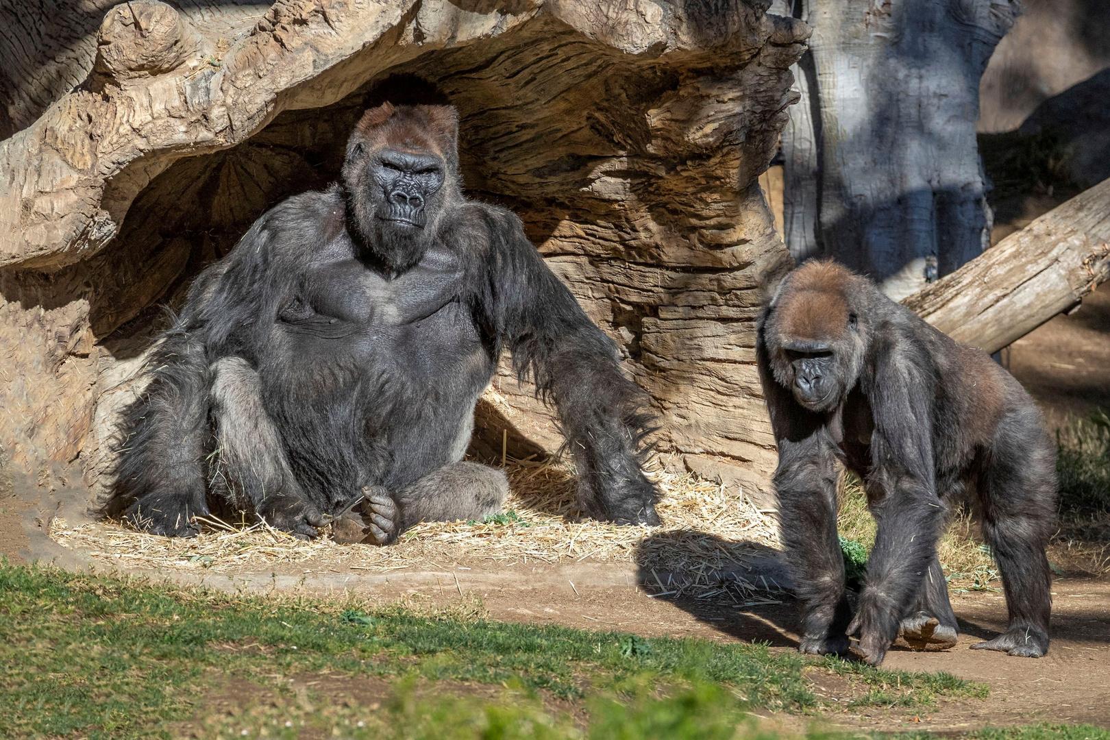 إصابة ثمانية أسود في حديقة حيوان هندية بكورونا