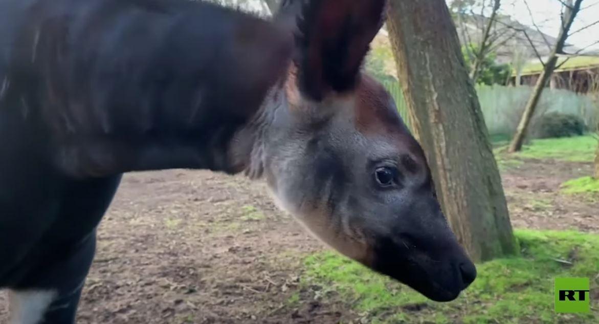 ولادة حيوان نادر في بريطانيا
