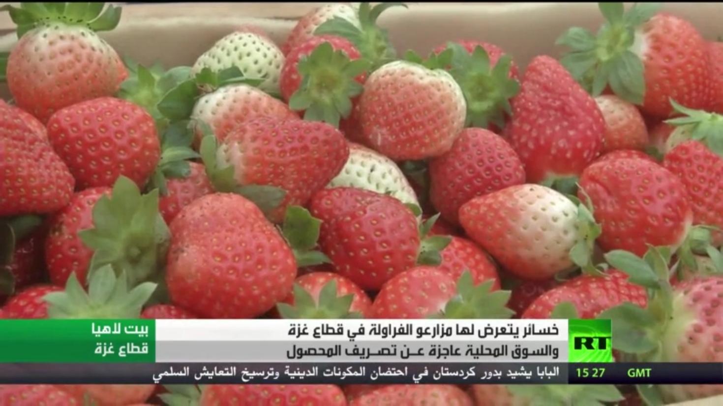 خسائر مزارعي الفراولة في غزة بسبب تدني الأسعار